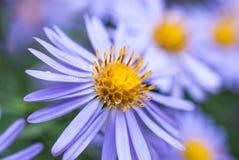 Härliga violetta asterblommor Royaltyfri Foto
