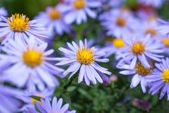 Härliga violetta asterblommor Arkivbild