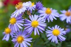 Härliga violetta asterblommor Fotografering för Bildbyråer