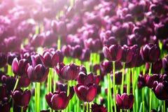 Härliga violetta eller purpurfärgade tulpan på våren arbeta i trädgården Fält av bloen Arkivfoton