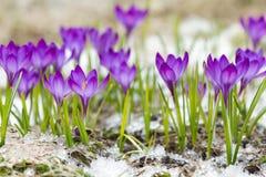 Härliga violetta krokusar Fotografering för Bildbyråer