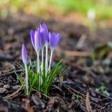 Härliga violetta krokusar Arkivfoton