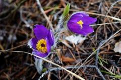 Härliga violetta snödroppar i skogen, den första våren blommar Ny frigörare formad om dollarsedel Arkivfoton