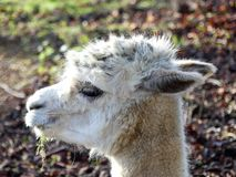 Härliga vit alpacas framsida på solig dag arkivbild