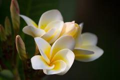 Härliga vit- och gulingfrangipaniblommor arkivbild