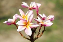 Härliga vit- och rosa färgblommor i Thailand, LAN-thomblomma, Frangipani, Champa Royaltyfria Foton