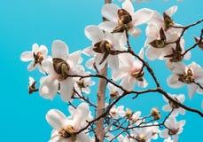 Härliga vit- och rosa färgblomningar mot blå himmel royaltyfri bild