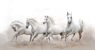 Härliga vita arabiska hästar arkivfoton