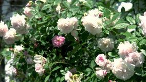 Härliga vita blomma Burnet steg busken bl?sigt v?der Blad och floweres för vind rörande stock video