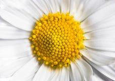härliga vita blommapetals Royaltyfria Foton