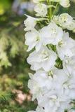Härliga vita blommor av en riddarsporrenärbild Royaltyfria Bilder