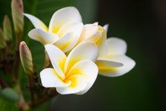 Härliga vita blommor av Plumeriafrangipanien på suddig backg arkivfoton