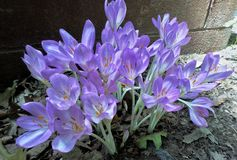 Härliga vita blommor för lilor och i skuggan arkivfoton