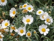 Härliga vita blommor för prästkragetusensköna med den gula capitulumen royaltyfri fotografi