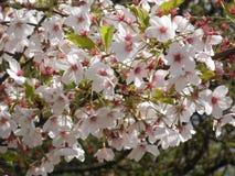 Härliga vita blommor från ett träd Royaltyfri Foto