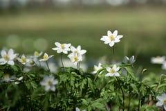 Härliga vita blommor i en vårskog Arkivfoto