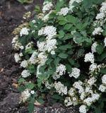 Härliga vita blommor på en gröna Bush royaltyfri bild