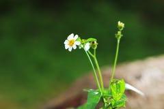 Härliga vita blommor som blommar i fälten i vår arkivbild