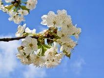 Härliga vita blomningar av ett äppleträd royaltyfria bilder