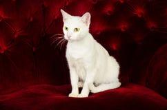 Härliga vita Cat Kitten som poserar på den röda sammetsoffan arkivfoton