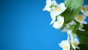 Härliga vita jasminblommor på en filial som isoleras på blått lager videofilmer