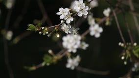 Härliga vita körsbärsröda blomningar i trädgården lager videofilmer