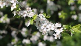 Härliga vita körsbärsröda blomningar i trädgården stock video