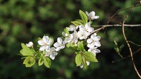 Härliga vita körsbärsröda blomningar i trädgården arkivfilmer