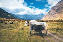 Härliga vita lösa yak och att förbluffa behandla som ett barn yak betar på royaltyfri foto