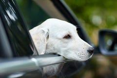 Härliga vita labrador i den svarta bilen Älsklings- begrepp royaltyfri foto