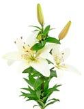 Härliga vita liljablommor Arkivfoto