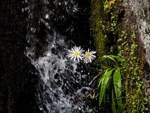 Härliga vita och gula tusenskönablommor framme av en vattenfall royaltyfria bilder