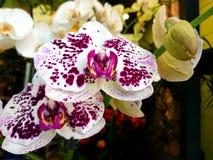 Härliga vita och rosa orkidér arkivfoton