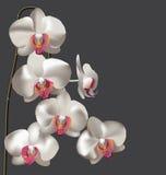 Härliga vita orkidér Fotografering för Bildbyråer