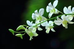 Härliga vita orkidér av Thailand Royaltyfria Foton