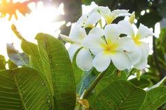 Härliga vita parfymerade blom med gul mitt av den exotiska tropiska blomningen för plumeria för frangipanniartplumeria i sommaran Royaltyfri Bild
