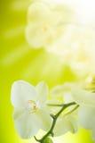 Härliga vita phalaenopsisblommor Arkivfoto