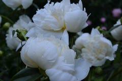 Härliga vita pioner blommar i trädgården royaltyfria foton