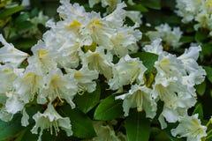 Härliga vita rhododendronblommor i stadsträdgården arkivbilder