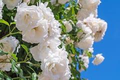 Härliga vita rosor 2 arkivbilder