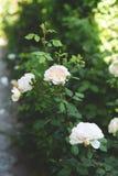 Härliga vita rosor i botanisk trädgård arkivfoto