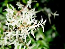 Härliga vita sidor av det Wrightia religiosaBenth trädet i en vårsäsong på en botanisk trädgård Arkivbild