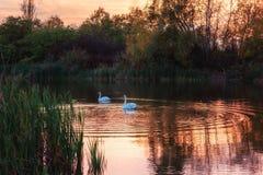 Härliga vita svanar i sjön i solnedgångljus, naturlandskap fotografering för bildbyråer