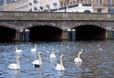 Härliga vita svanar i staden royaltyfri bild
