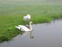 Härliga vita svanar near sjön, Litauen royaltyfria bilder