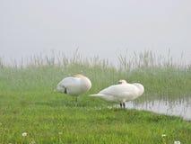 Härliga vita svanar near sjön, Litauen fotografering för bildbyråer