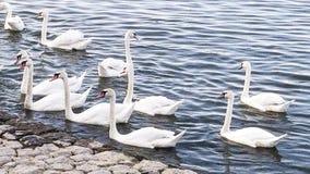 Härliga vita svanar på Danubet River royaltyfria foton