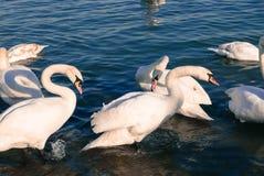 Härliga vita svanar som står i vatten på en solig dag i Belgrade Royaltyfria Foton