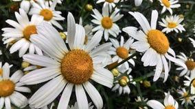Härliga vita tusenskönor i ett fält i sommar Arkivfoto