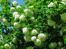 Härliga vita vanlig hortensiablommor, mot en bakgrund för blå himmel arkivbild